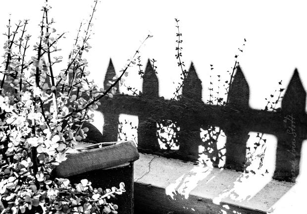 Spekboom and fence shadows