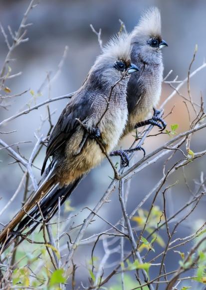 Comical mousebirds © Deborah Ann Stott 2018