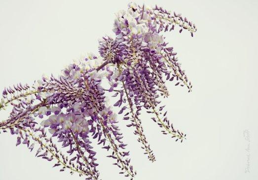 Wispy wisteria