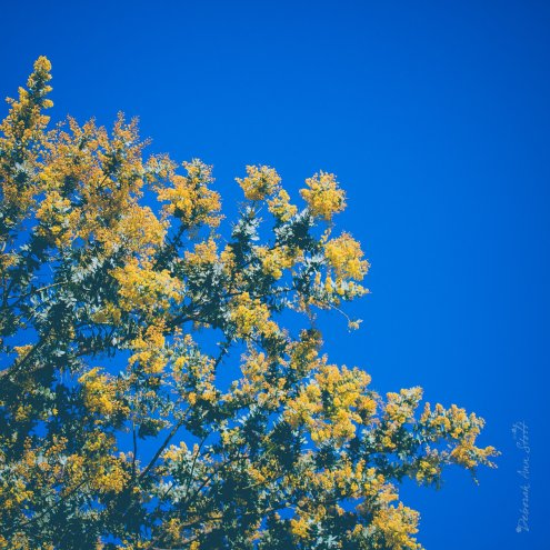 Mimosa against blue