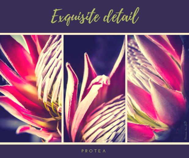 Protea Beauty © Deborah Ann Stott 2018